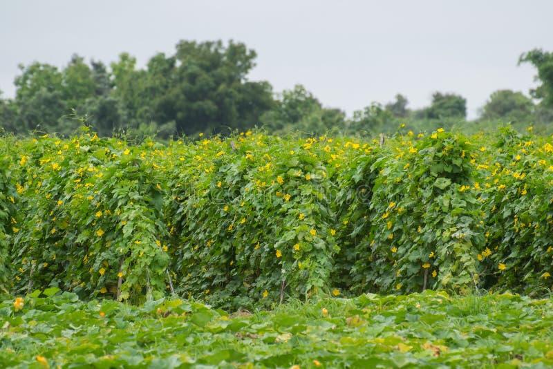 Vegetable плантация стоковое фото rf