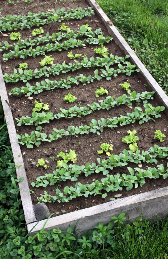 Vegetable bed with first sowing vegetables royalty free stock photography