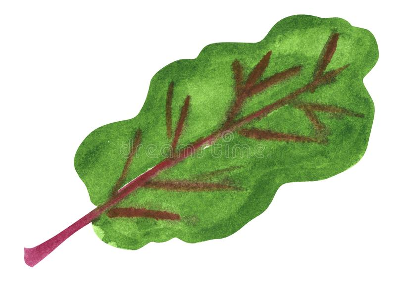 Vegetable, beet greens, hand drawn watercolor illustration. Isolated on white with clipping path vector illustration