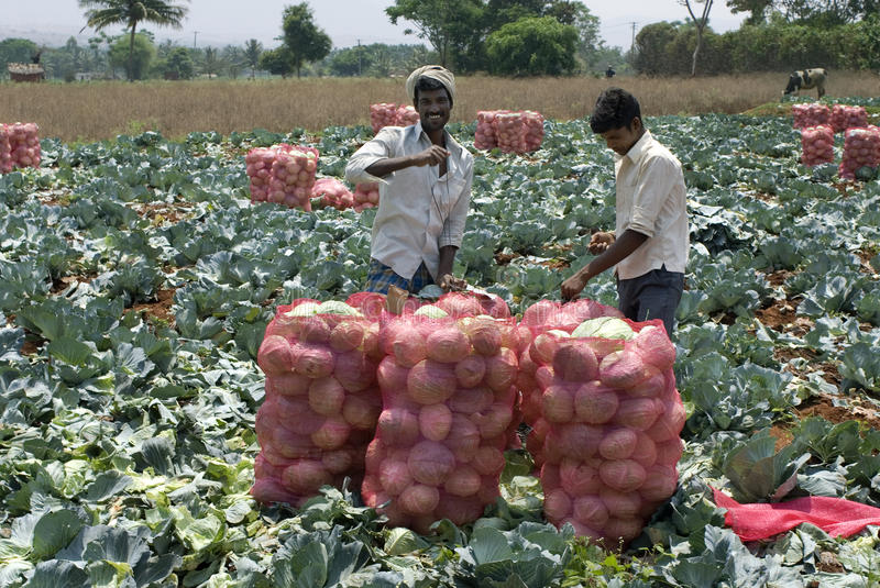 Vegetable-Cabbage just cropped filling in sacs. Vegetable- Cabbage field-Men filling cropped cabbage in sacs- Cabbage (Brassica oleracea or variants) is a leafy royalty free stock photo