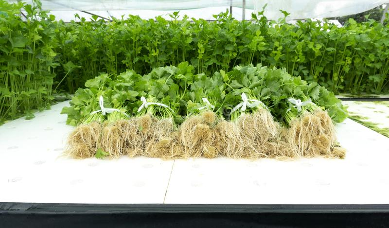 Vegetable celery in Hydroponics packing for sale. royalty free stock photography