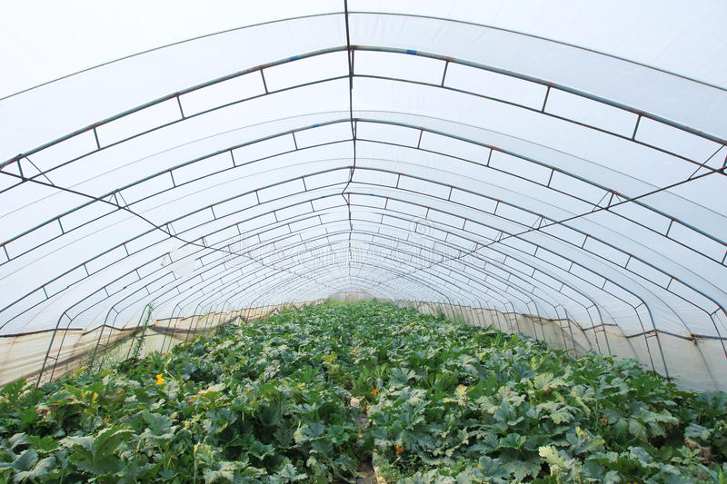 Vegetable cultivation. The scenery of squash cultivation in vinyl house royalty free stock photo