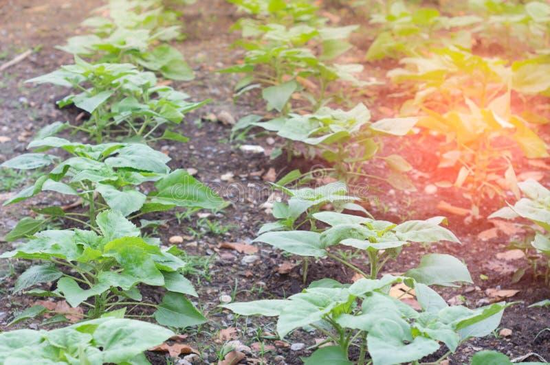 Organic vegetable garden, Spring And the morning sun. stock photography