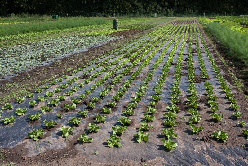 Download Vegetable farm stock image. Image of farm, salad, fresh - 24449893