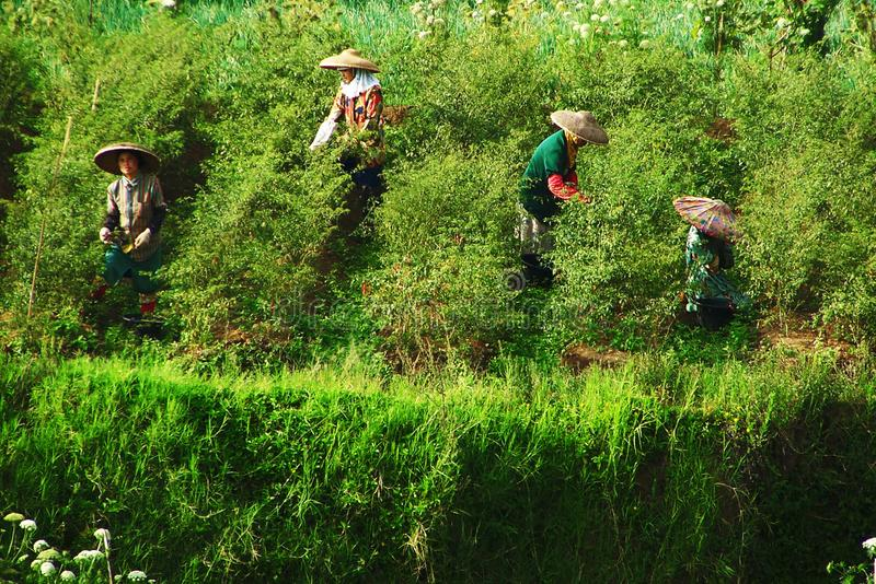 Peas Farmer Traditional In West Java, Indonesia stock photo