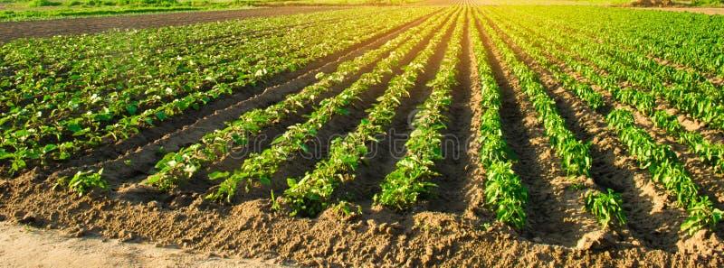 Молодые баклажаны растут в поле строки овоща Земледелие, обрабатывая землю farmlands Ландшафт с аграрным краем r стоковое фото