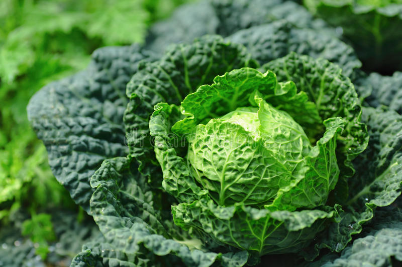 Vegetable in field royalty free stock image