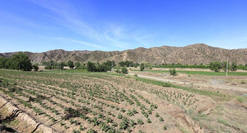 Vegetable field in arid soil under yinshan mountains, adobe rgb. Vegetable field in arid soil under daqingshan mountain of yinshan mountains, baotou city, china stock photo