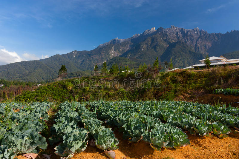 Vegetable field with Mount Kinabalu at the background stock images