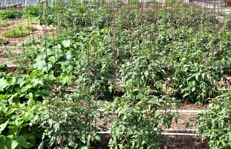 Download A vegetable garden stock image. Image of vegetable, salad - 19318277