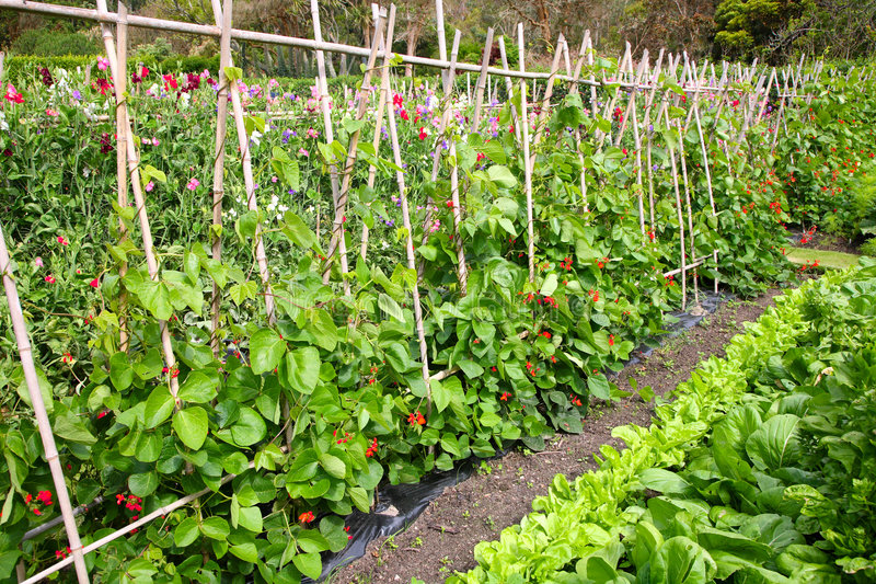 Download A vegetable garden. stock image. Image of wood, green - 2748005