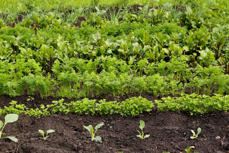 Download Vegetable garden stock image. Image of plant, carrot, agriculture - 9999271