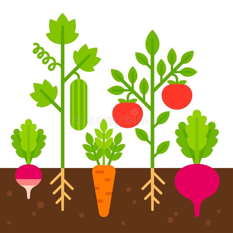 Vegetable garden illustration. Vegetable garden, simple flat cartoon vector illustration. Cute bright vegetables planted in soil vector illustration