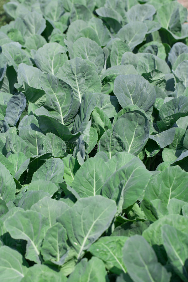 Download Vegetable garden with kale stock image. Image of plant - 37068653