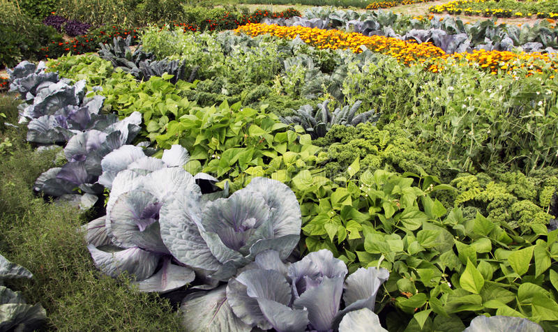 Vegetable garden with mixed crops stock images