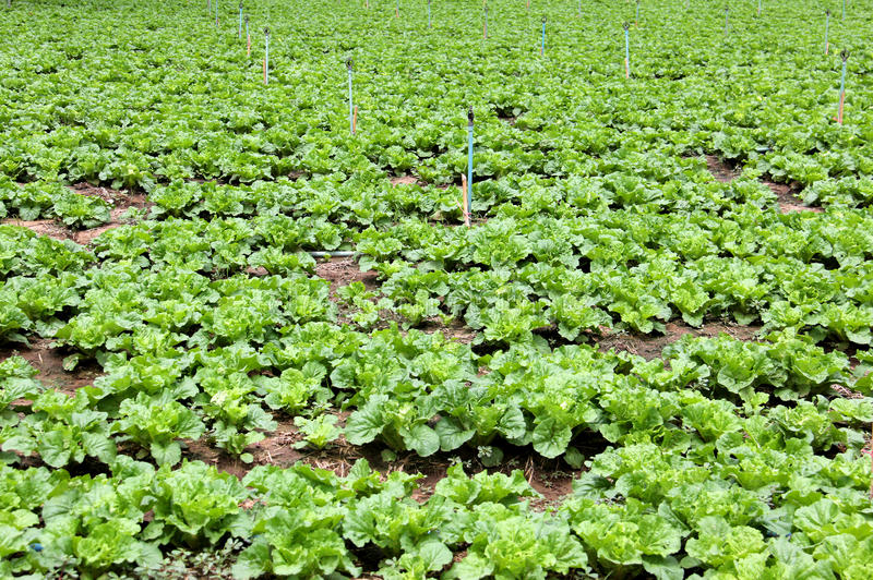 Vegetable garden. Organic for salad royalty free stock photography