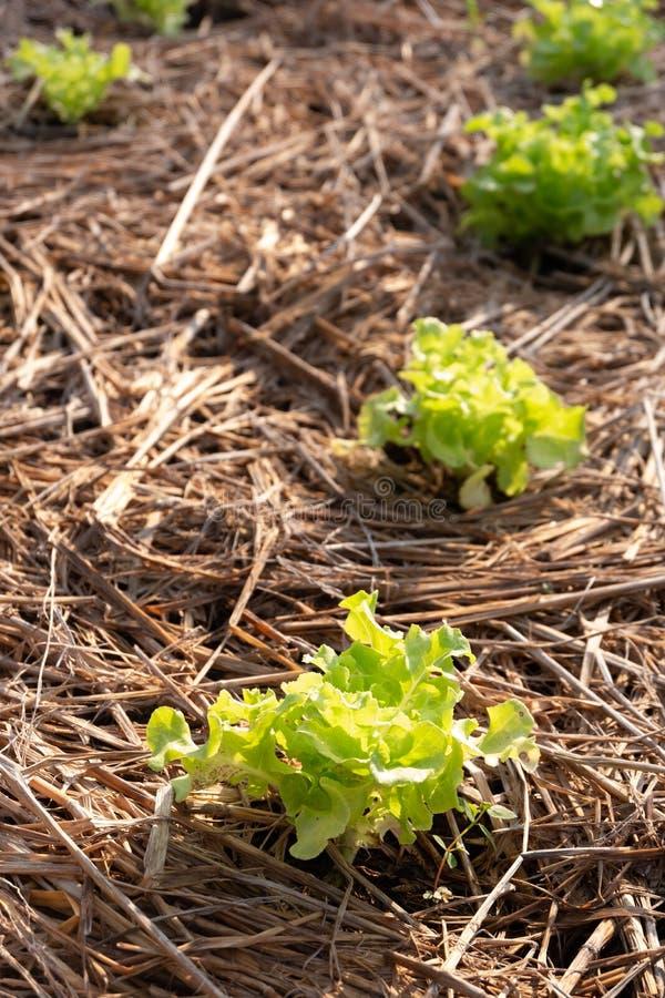 Vegetable on garden stock photography