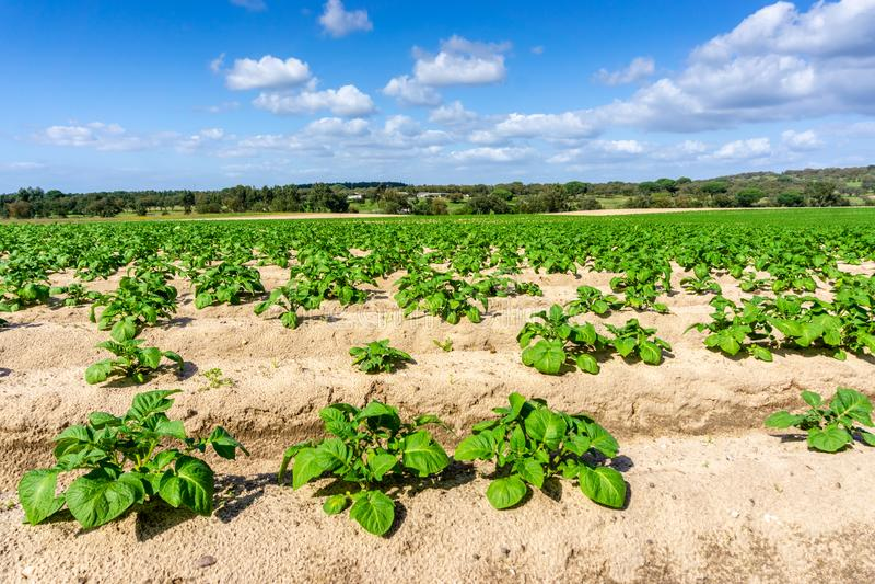 Vegetable garden potato plantations on the ground, concept eco royalty free stock photography