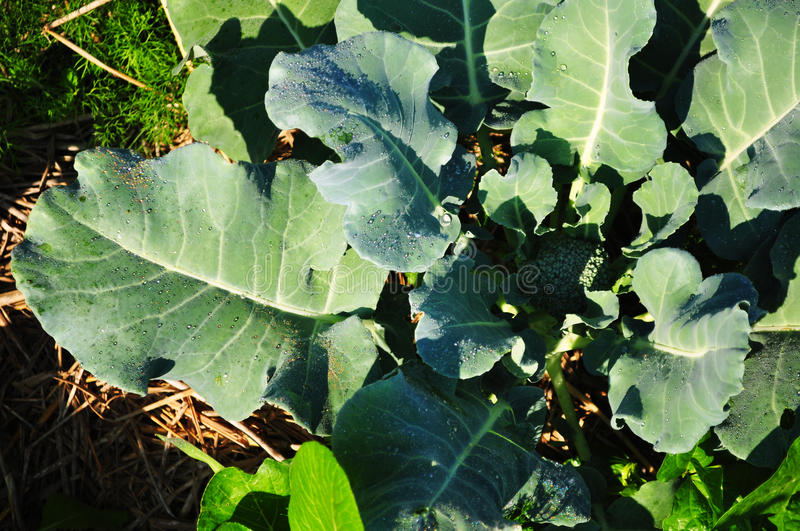 Vegetable in the garden royalty free stock photography