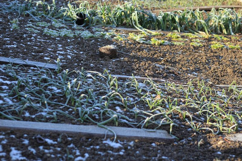 Vegetable garden in winter. Snow and frost on vegetables. Morning sun, from winter to spring stock photos
