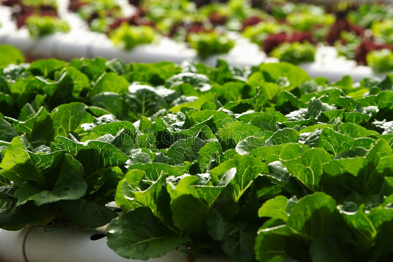 Download Vegetable Hydroponics Royalty Free Stock Image - Image: 7567876