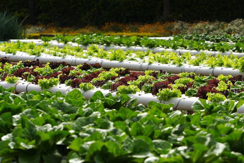 Vegetable hydroponics stock image