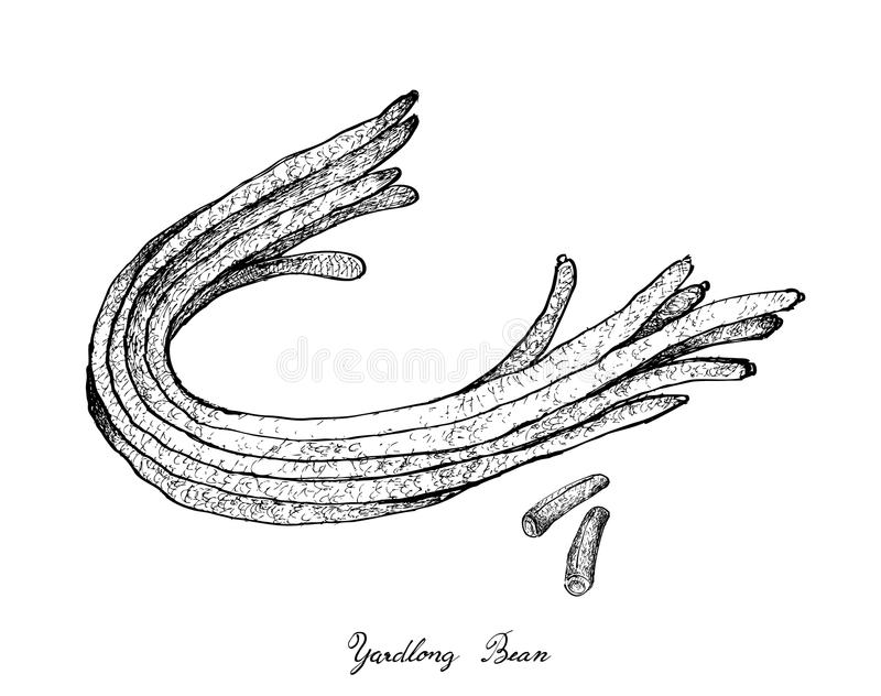 Hand Drawn of Fresh Chinese Long Beans stock illustration