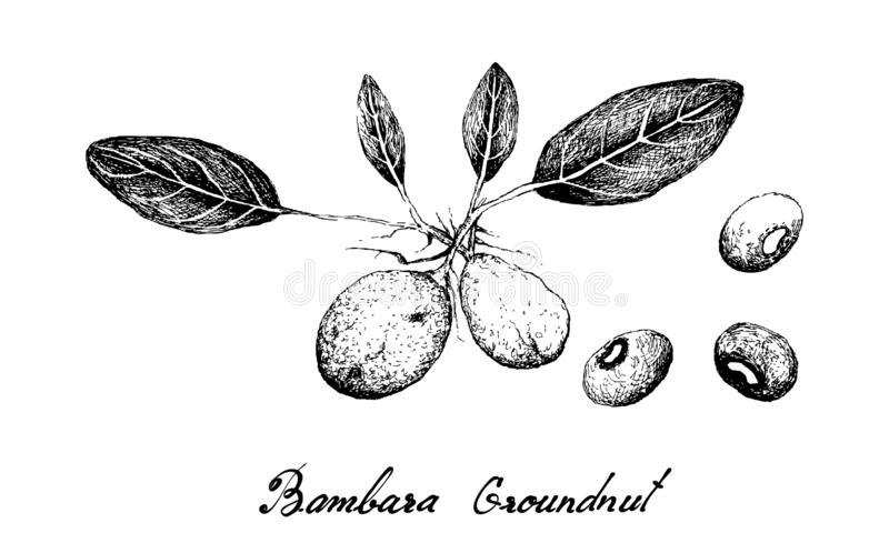 Hand Drawn of Bambara Nuts on White Background. Vegetable, Illustration of Hand Drawn Sketch Vigna Subterranea, Bambara Nut, Congo Goober, Earth Pea, Ground Bean stock illustration