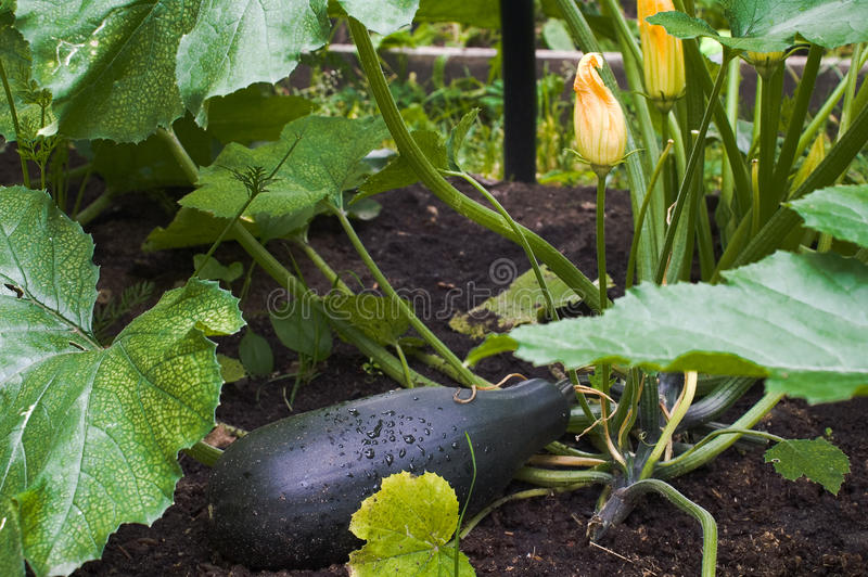 Download Vegetable Marrow Royalty Free Stock Photo - Image: 17227315