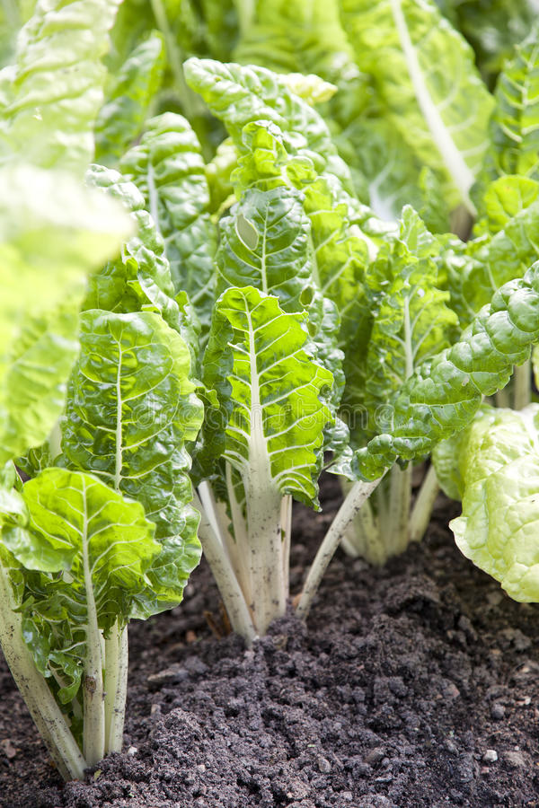 Download Vegetable patch with beets stock image. Image of gardening - 25140729