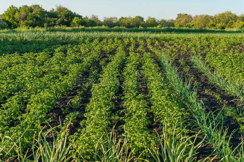 Vegetable patch with rows of growing potato plants and shallots royalty free stock photos
