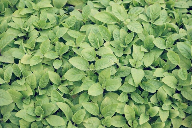 Vegetable plant nursery prepare for agricultural crop. Vegetable, amaranth, plant nursery prepare for agricultural crop, texture pattern, copy space fresh stock image