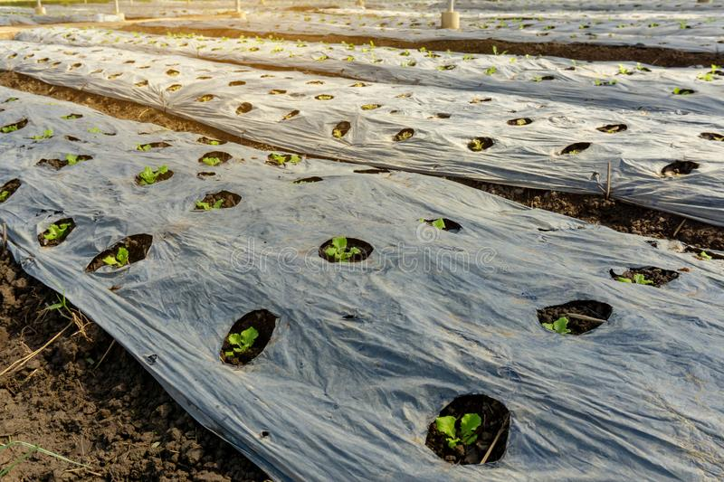 Vegetable plantation in organic farmland, young green leaf lettuce seedling spreading on brown soil cover by black plastic sheet royalty free stock photo