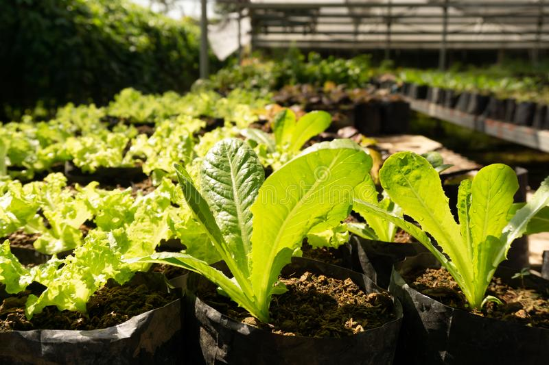 Vegetable plantation in organic farmland, young green oak leaf lettuce seedling spreading on brown soil cover by black plastic. Sheet in nursery under shading royalty free stock images