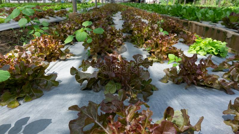 Vegetable plantation in organic farmland, young green and red oak leaf lettuce seedling spreading on brown soil cover by black. Plastic sheet in nursery under royalty free stock photo
