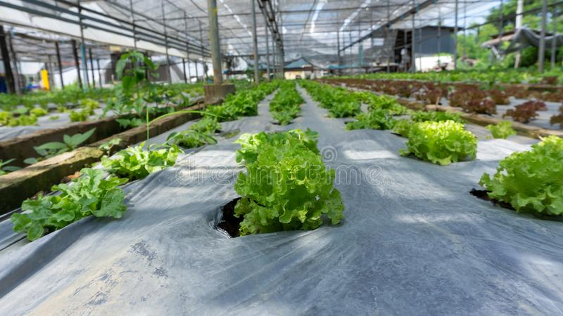 Vegetable plantation in organic farmland, young green and red oak leaf lettuce seedling spreading on brown soil cover by black. Plastic sheet in nursery under royalty free stock images