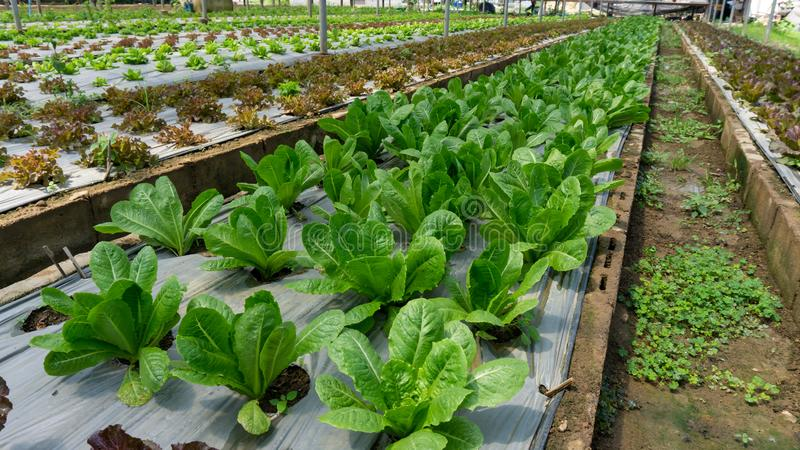Vegetable plantation in organic farmland, young green and red oak leaf lettuce seedling spreading on brown soil cover by black. Plastic sheet in nursery under stock photos