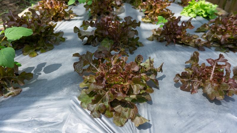 Vegetable plantation in organic farmland, young green and red oak leaf lettuce seedling spreading on brown soil cover by black. Plastic sheet in nursery under royalty free stock photography