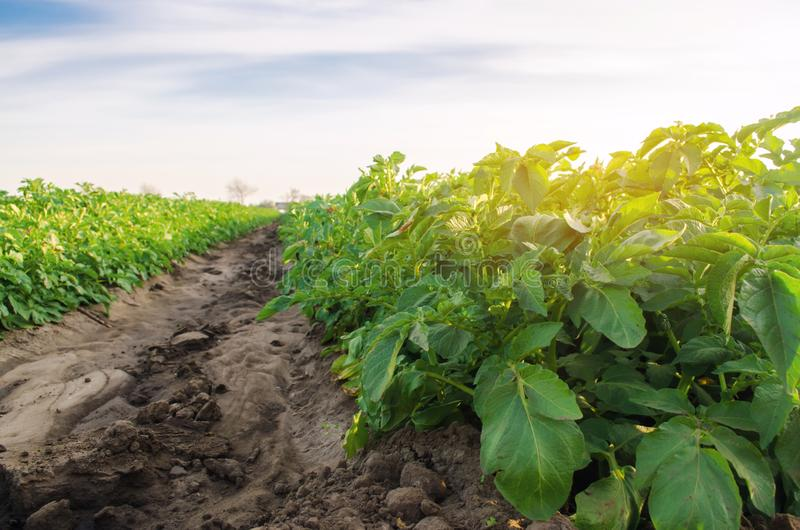 Vegetable rows of potatoes grow in the field. Growing organic vegetables. Agriculture. Farm. Selective focus.  stock images