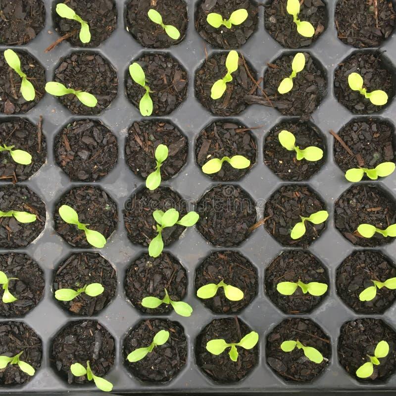 Vegetable seedlings of lettuce in plastic nursery cell tray stock photos