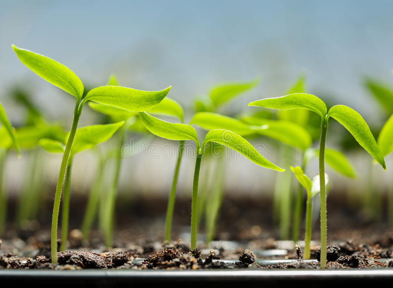 Vegetable sprouts in peat tray stock images