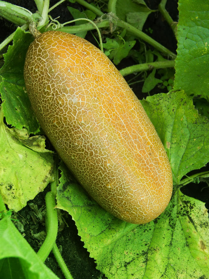 Download Vegetables  cucumber stock photo. Image of cucumber, seed - 10681640