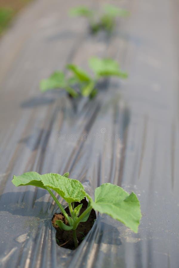 Vegetables Cucumber Royalty Free Stock Photos