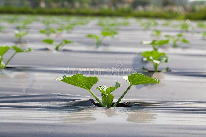 Download Vegetables cucumber stock photo. Image of nature, land - 38241284