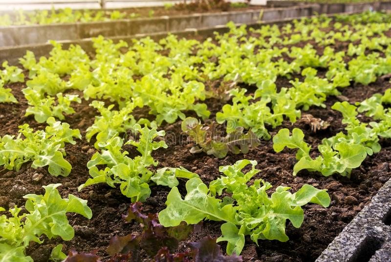 Vegetables farm planting indoor by non-toxic organic with beautiful green leafs are grown for salad. Agriculture industry. royalty free stock photography