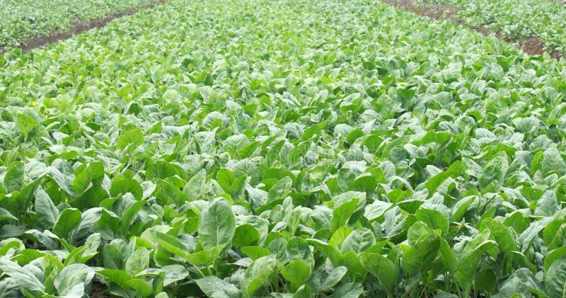 Vegetables Farms