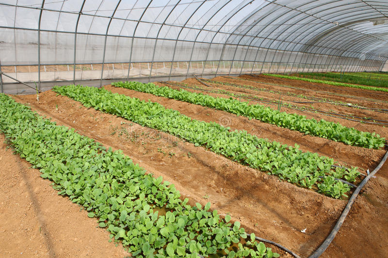 Download Vegetables in greenhouse stock photo. Image of green - 21705592