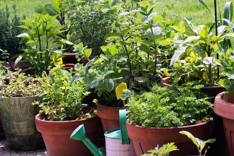 Vegetables growing in pots. In the spring, when buy seedlings of vegetables, plant them individually into larger pots and grown on the balcony or terrace. For stock photos
