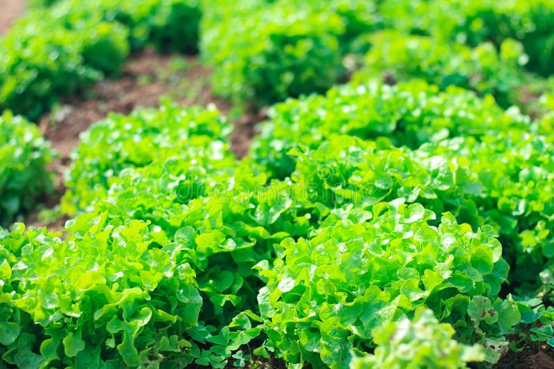 Vegetables grown in the soil With nutritional value and vitamins. Close up Vegetables grown in the soil With nutritional value and vitamins royalty free stock photos