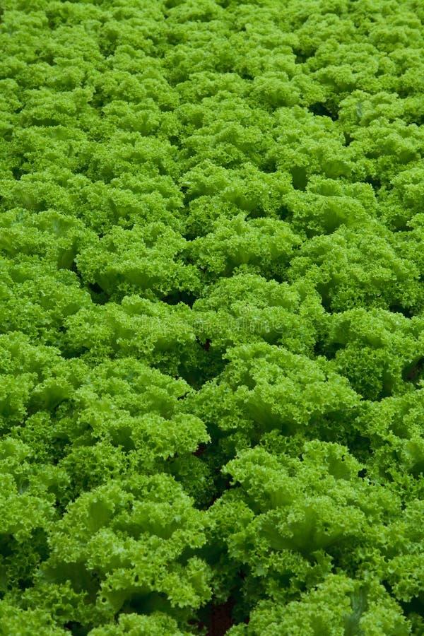 Vegetables hydroponics. Farm,Cameron Malaysia stock image